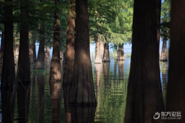 中秋小长假,去四明湖水杉林,赏中村美景,看照片